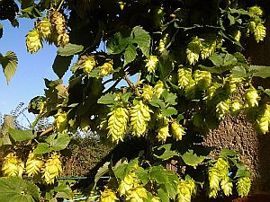 Hops in our garden 2014